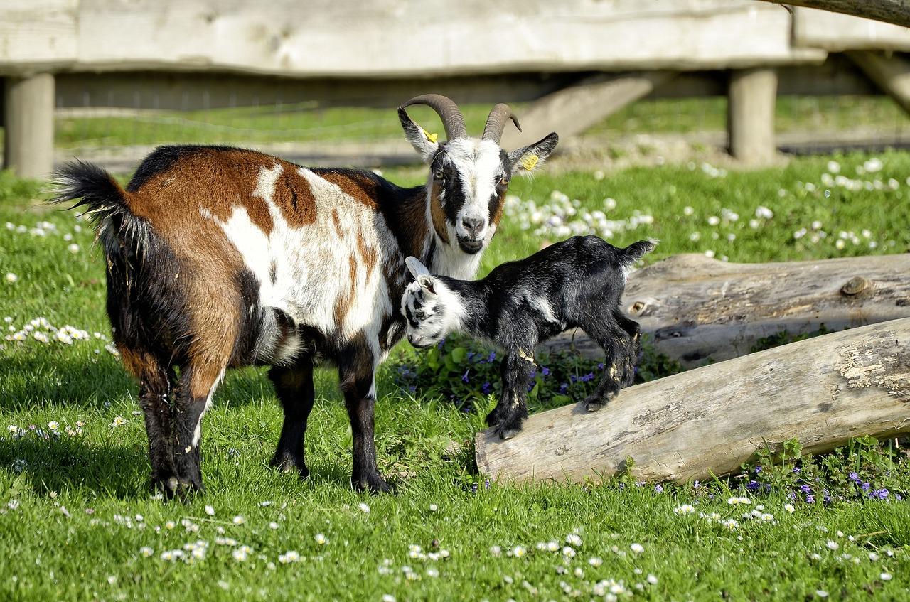 une chèvre et son petit