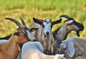 Chèvres débroussailleuses : Tous les avantages !