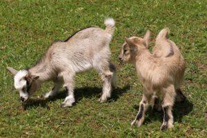 Louer une chèvre débroussailleuse pas chère