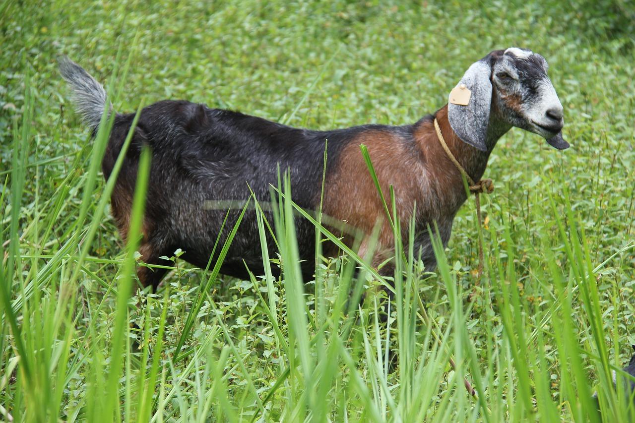 Les conditions à réunir pour louer une chèvre débroussailleuse