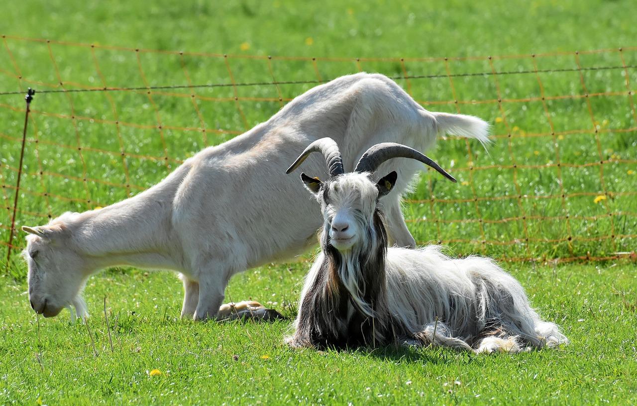 2 chèvres dans la pelouse