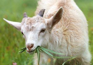 chevre-mange-des-herbes