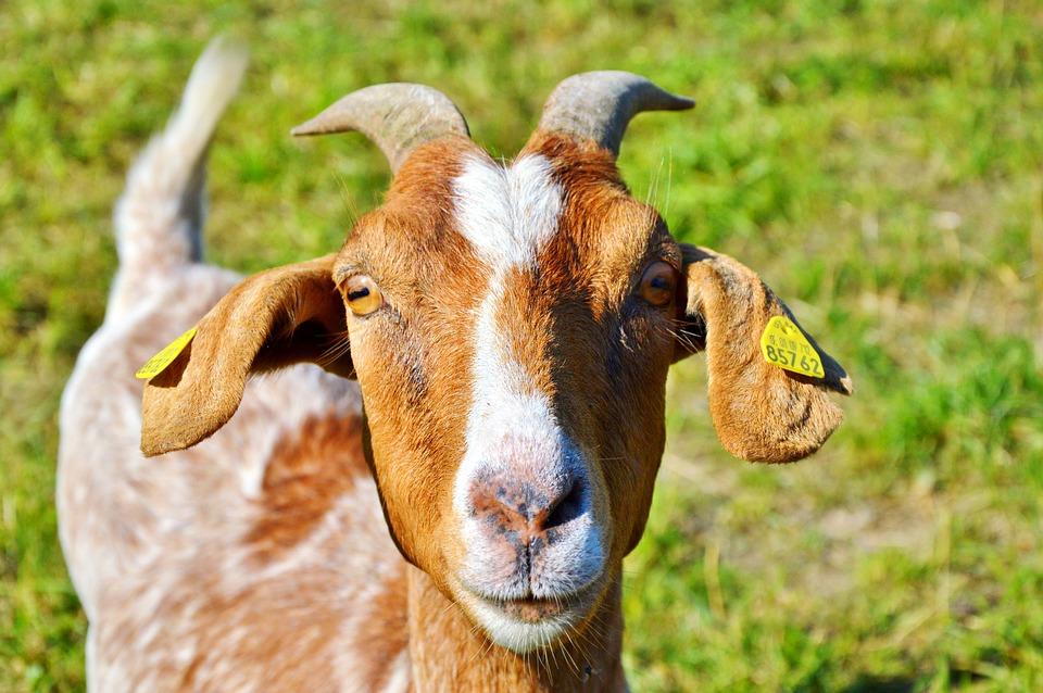 Comment nourrir une chèvre ?