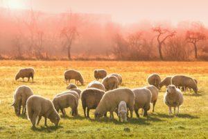 Pourquoi louer un mouton pour tondre votre pelouse ?